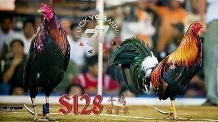 Sabung Ayam Online Pakai Link Alternatif LuckyGaming77